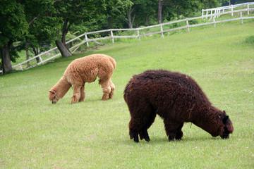 牧草を食べる二頭のアルパカ