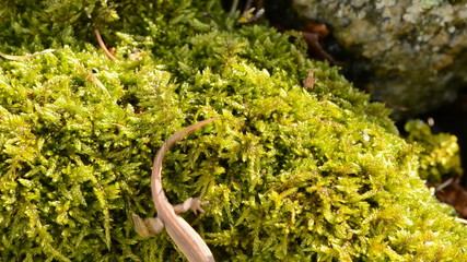 Smooth Newt in early spring