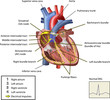 The Electrical System of The Heart Vector