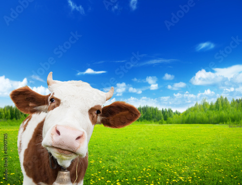 Fototapety, obrazy : cow and field of fresh grass