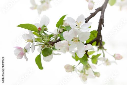 Fototapeten,äpfel,april,blühen,verzweigt