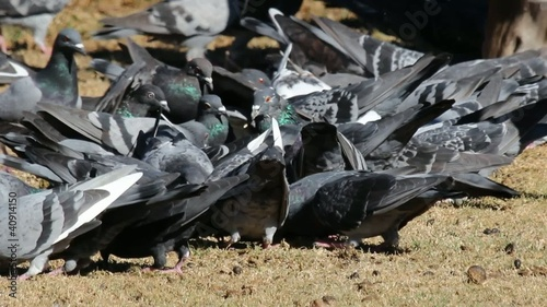 Pigeons in a city park feeding frantically