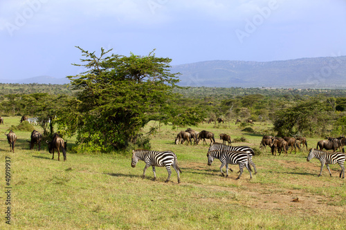 Zebra and wildebeest in Africa