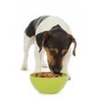 chien Jack Russel terrier mangeant pâtée