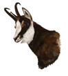 Chamois on white background