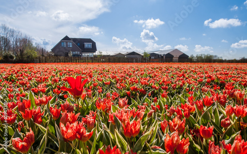 Hollandse Tulips
