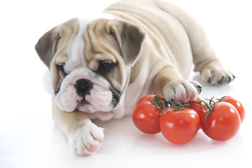 English bulldog puppy with vegetables