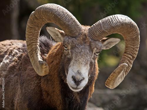 Mufflon (Ovis musimon)