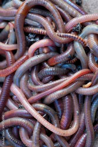 Huge amount of earthworms close to fishing