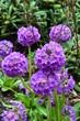 violette Kugelprimeln