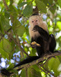 White-faced Capuchin Eating a Banana
