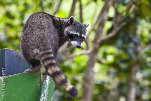 Raccoon Exploring a Trash Can