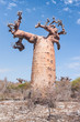 Baobab tree and savanna