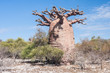 Baobab tree and savanna