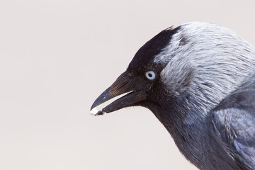 Jackdaw with a pebble in its beak