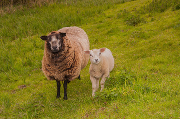Female sheep with her lamb standing at the base of a dike