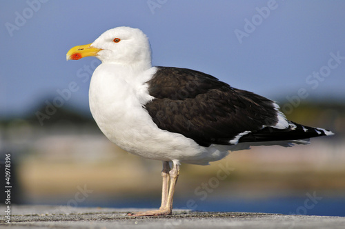 Closeup of profile Great Black-backed Gull (Larus marinus)