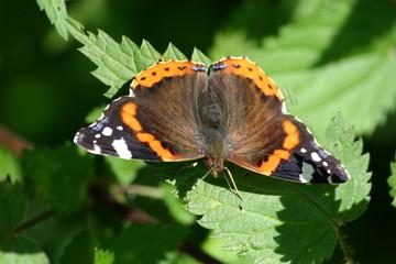 Schmetterling auf Brennessel