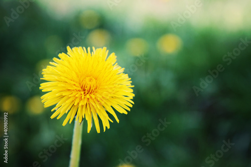 Dandelion Flower in Green Grass