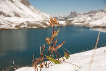 Pflanze im Schnee vor Bergsee