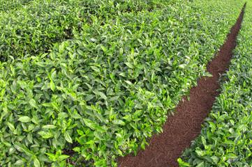 Green Tea Path