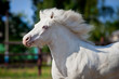 White horse pony runs gallop in pasture at summer