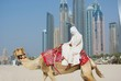 Camel on Beach in Dubai at the urban background