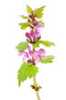 Purple Dead-nettle Lamium purpureum wildflower plant over white