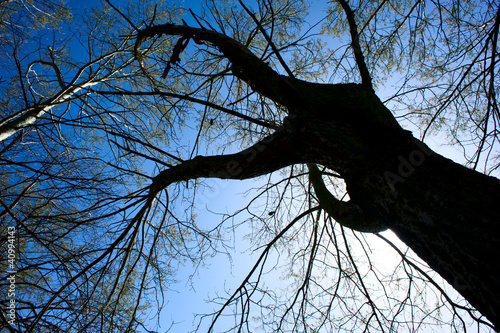 Tree rising into the blue sky