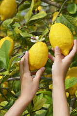 Kinderhände greifen reife Zitronen