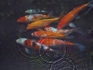 Koi fish with water ripple