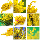 Collage di mimose