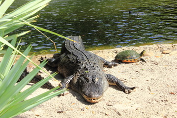An American alligator and terrapin basking in the sun