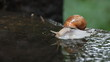 Snail walks into puddle of water