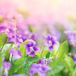 Sweet Violets (viola odorata)