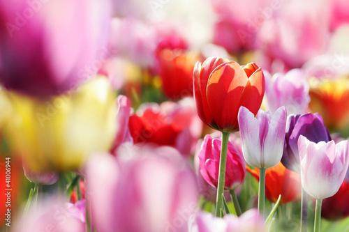 Fototapety, obrazy : tulpenblüte