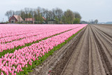 Big field with numerous of red and purple tulips in the Netherla