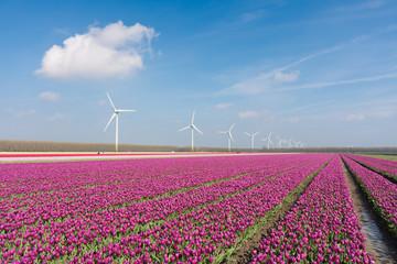 Big Dutch purple tulip field with windturbines