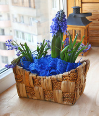a hyacinth and scilla is in a small basket