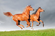 two chestnut arabian horses