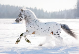 Fototapety appaloosa pony runs free through the winter field