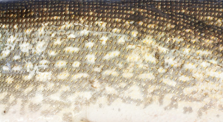 scales of pike as a background