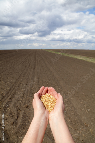 Agriculture concept, wheat in hands and field