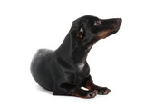 black little dachshund dog isolated on white