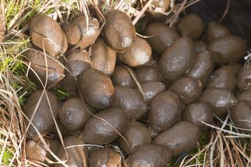 Fresh dung after moose