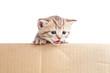 Scottish british baby kitten in cardboard box