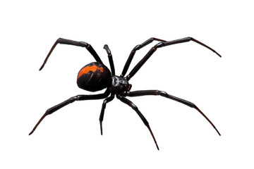 Spider, Redback or Black Widow,  isolated on white