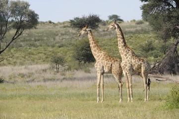 Giraffe (Camelopardus giraffa) Kgalagadi park,south africa