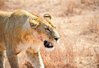 lioness in the wild, Africa, Kenya