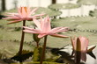 Peach Glow water lilies